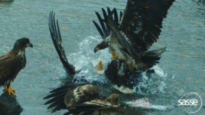 Juvenile bald eagle swoops in to steal food from adult bald eagle.